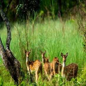 herd of deer in chitwan national park